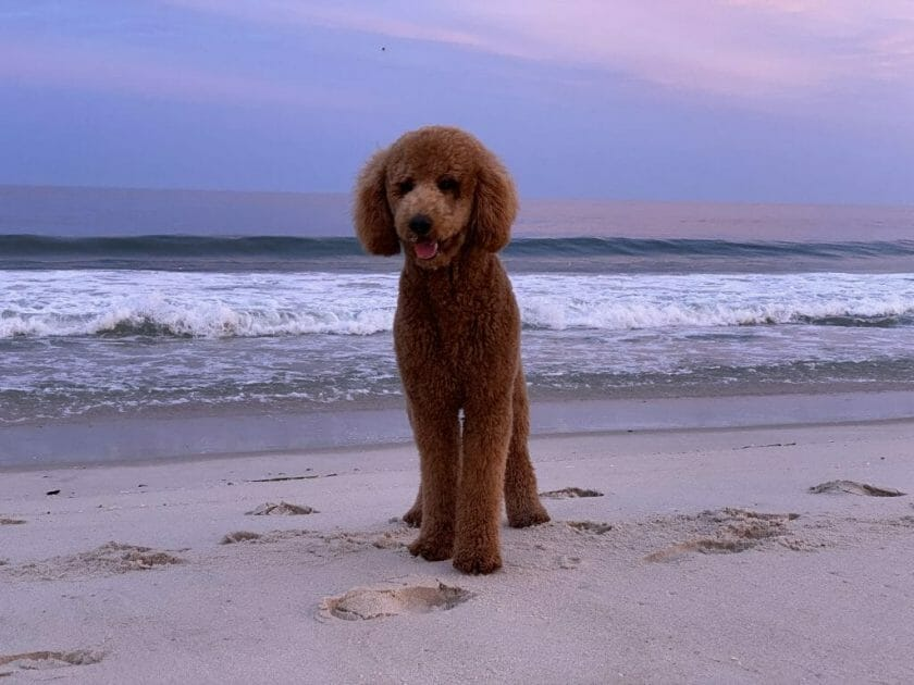 poodle at the beach